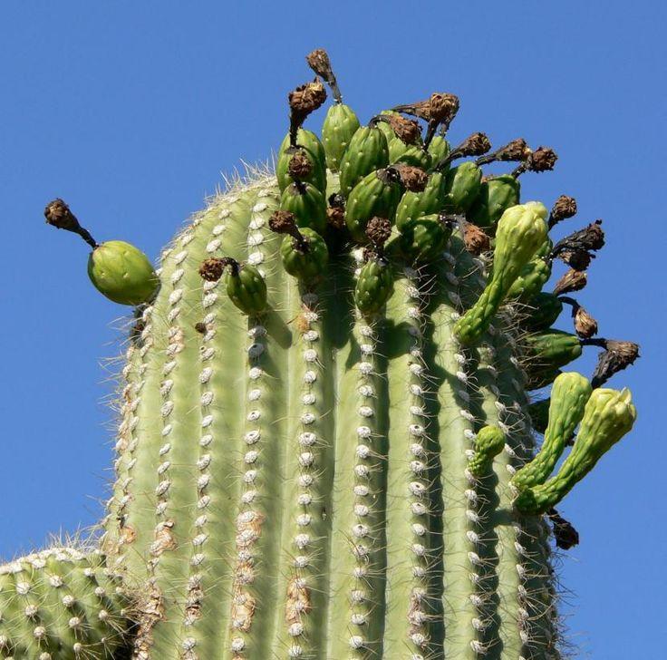 ¿Cuáles son los cactus altos? - http://www.jardineriaon.com/cuales-son-los-cactus-altos.html #plantas