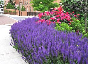 """May Night Salvia - Sage - (1) 5"""" Pot - Salvia - Sages - Buy Plants ..."""