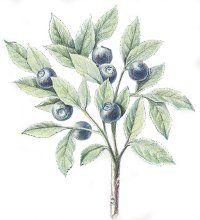 Bilberry: Herbal Remedies