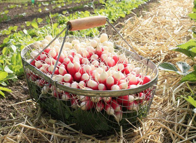 Comment semer et cultiver les radis au potager… 5 conseils pour ne pas rater votre récolte de radis !