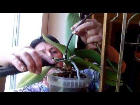 Черенкование орхидей (фаленопсис) - YouTube