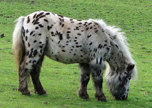 Spotty Shetland pony by tubblesnap, via Flickr