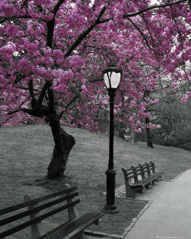 Kwitnące Wiśnie Central Park Nowy Jork - plakat