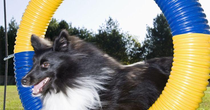 """Como construir obstáculos de agilidade para cachorros. O """"agílity"""" canino é um esporte popular em que desafia os cachorros a completar um curso de obstáculos com a ajuda de seu guia. Com o cachorro manobrando através do curso, ele deve passar em cima, em baixo, através e ao redor de uma variedade de obstáculos. Quando o cão está competindo, o percurso do 'agility' deve ter equipamentos regulados. No ..."""