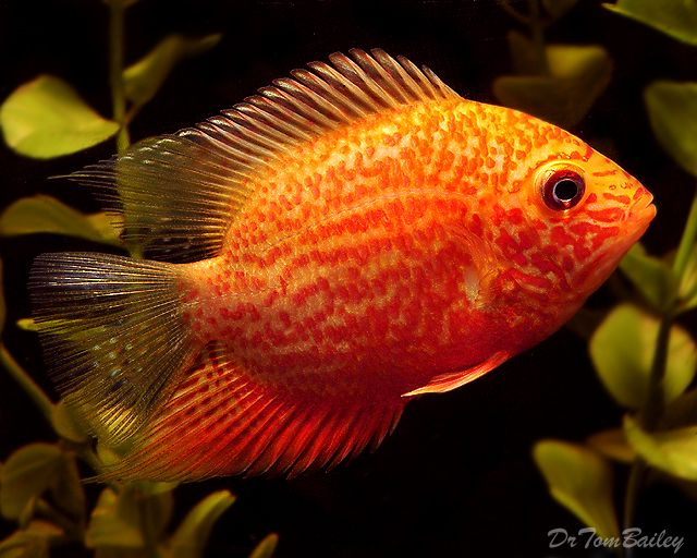 Severum or Banded Cichlids hail from South America mainly in the northern Amazon region of Brazil and Guyana Their scientific names are Heros Severus and Cichlasoma Severum with the common names being Banded Cichlid Hero Cichlid and Severum