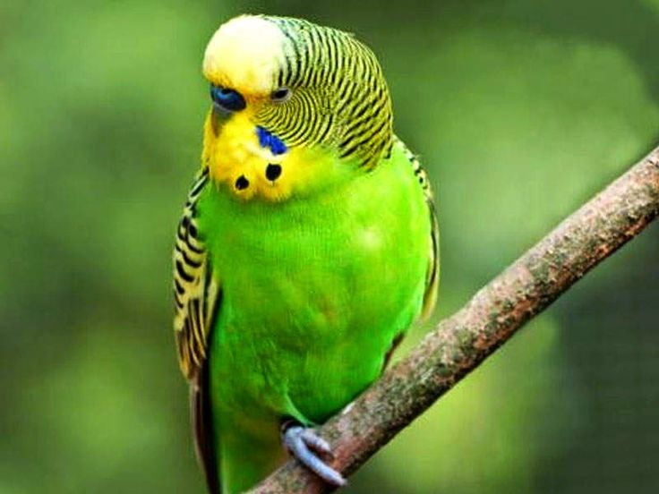 40 best love bird images on pinterest budgies parakeets