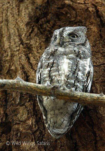 African scops owl - master of camouflage ...  #Kruger National Park