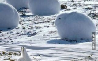 These are called Arctic Hares, they are basically bunny pups. (via oowot.com)