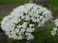 Valerian is one of the most effective herbs being used in the present times, but it must be carefully considered for valerian has uses and misuses.