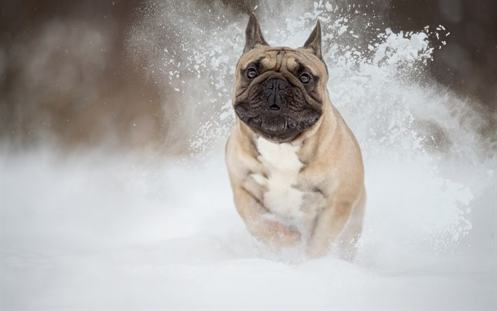 Download wallpapers French Bulldog, winter, snow, running dog, pets