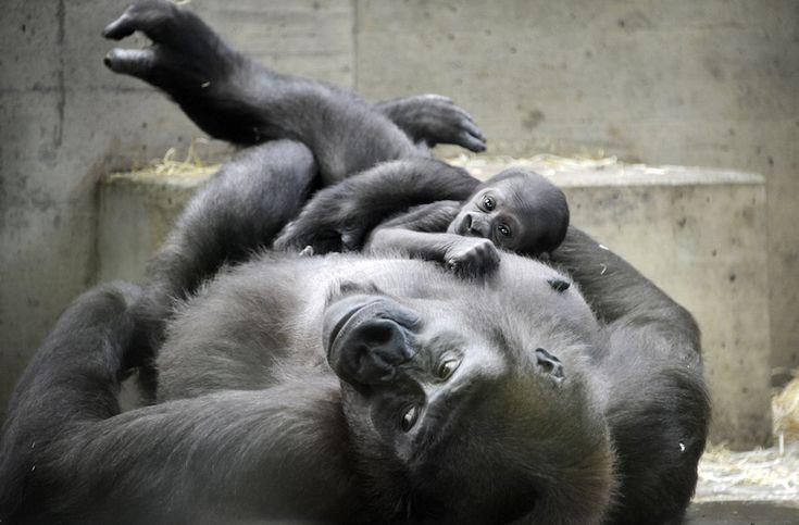 tIl gorilla Tuana col suo cucciolo appena nato, di nome Wilhelma, allo zoo di Stoccarda, in Germania (AP Photo/dpa, Gioia Forster)