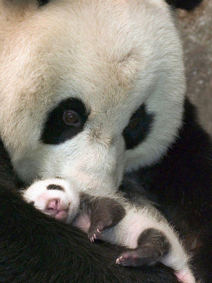 Panda bears. Dawww!