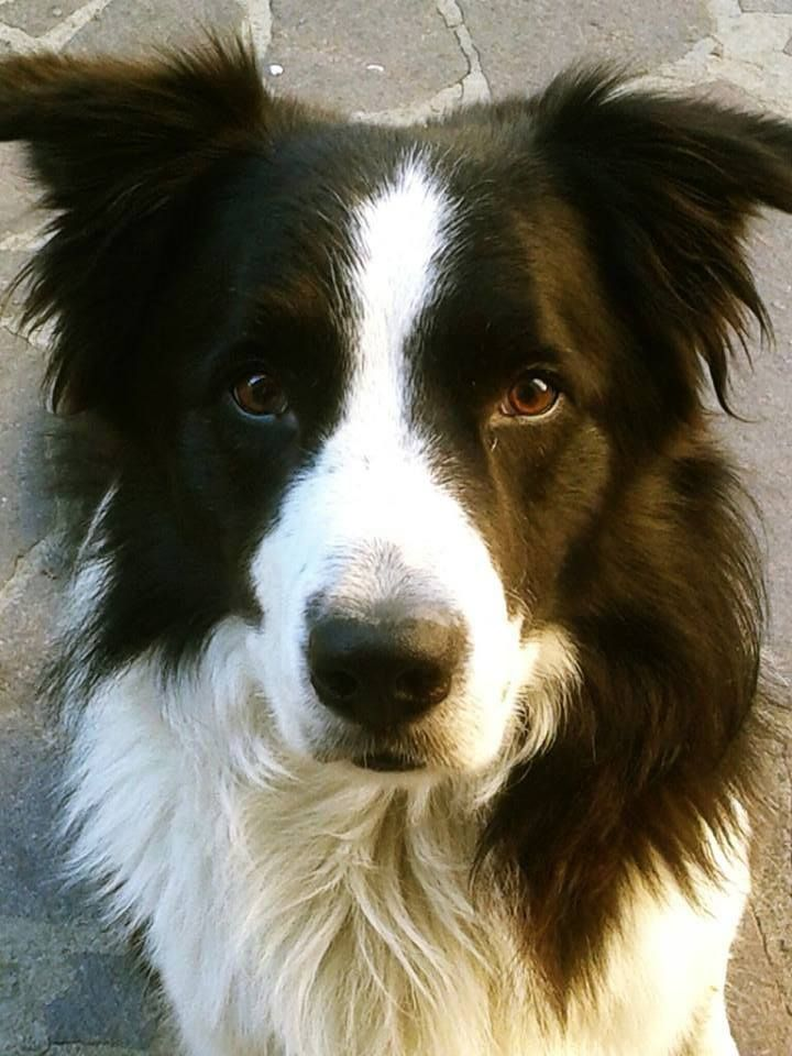 Sweet faced Border Collie