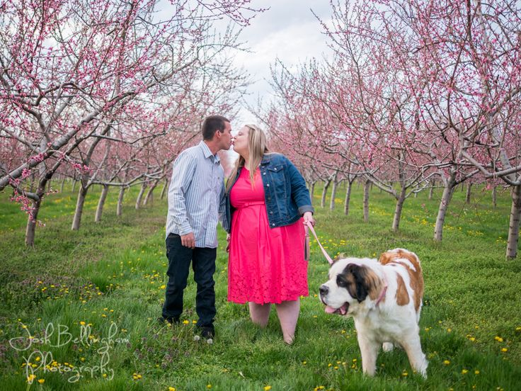 Stunning Orchard Engagement photos in the Heart of Niagara. It's always fun to have your dog in photos. Gorgeous orchard with pink blossoms on peach trees and a cute couple with their Saint Bernard pup! @orchardcroft  #joshbellinghamphotography