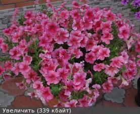 Петунии-10 (сезон 2013 г) - Цветущая Дача