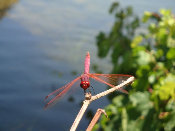 Hot pink dragonfly - There are lovely, big dragonflies of bright pink and blue colors on the rivers of South Crete. Damnoni beach (η παραλία Δαμνόνι).