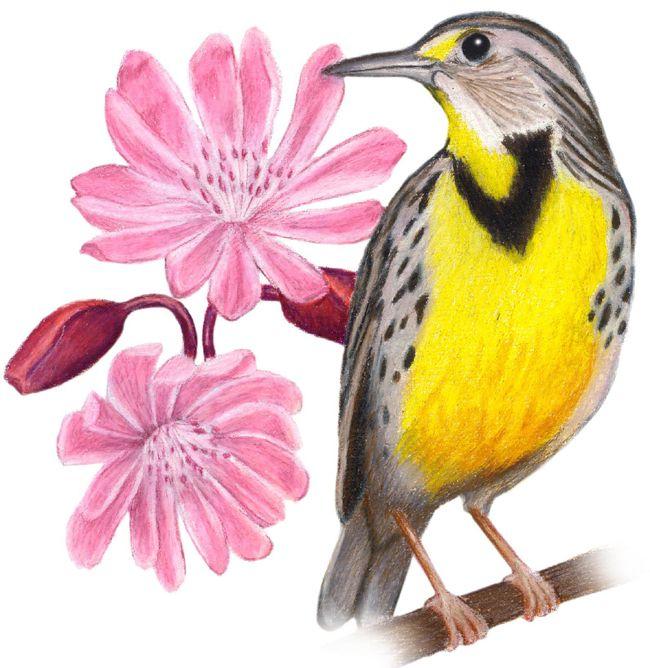 Montana State Bird and Flower | USA - Montana | Pinterest ...