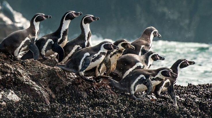(adsbygoogle = window.adsbygoogle || []).push();     Un proyecto minero liderado por la compañía chilenaAndes Ironpretendíadañar un maravilloso parque natural para construir un puerto y extraer del lugar toneladas de acero. No lo lograron.   La Reserva Nacional Pingüino de...
