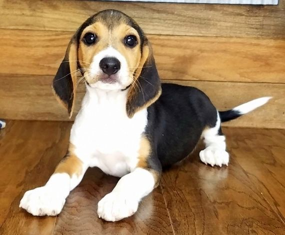 Bently Beagle Puppy PuppySpot Hunde