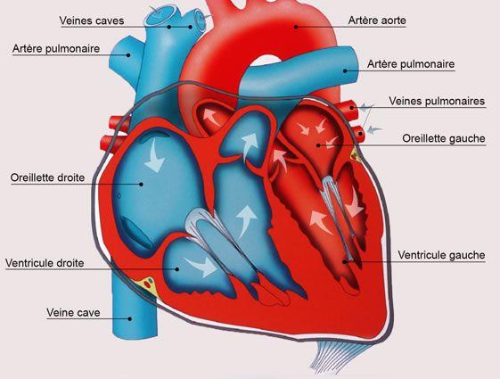 anatomie_du_coeur.jpg 561×425 pixels