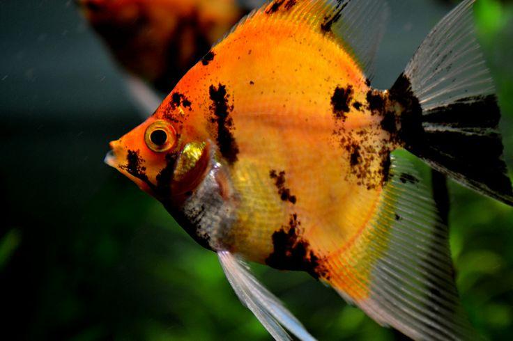 Koi Angelfish Altum Manacapuru Koi Rio Negro