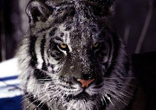 O tigre-negro é uma variante de tigre de rara coloração.