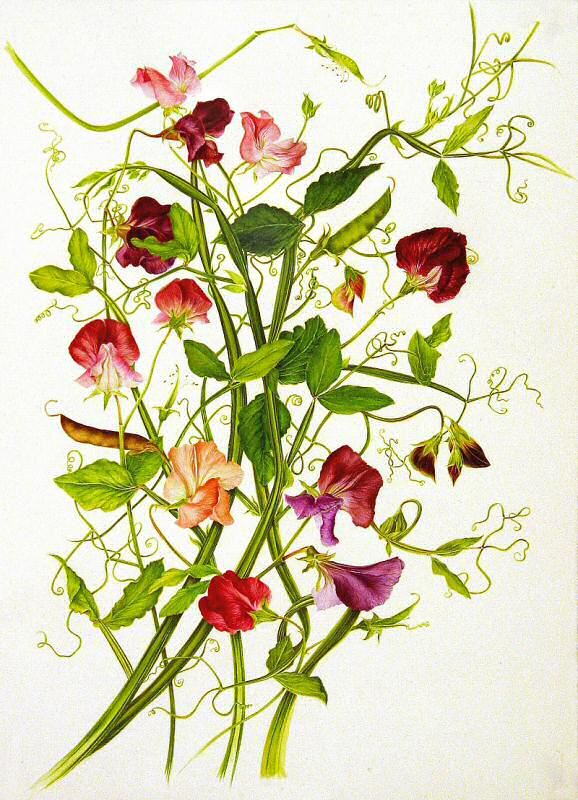 Lovely sweet peas watercolor by Milly Acharya. Sweet peas are one of my favorite flowers and scents and watercolor is one of my favorite art mediums