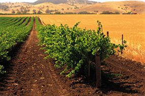Barossa Valley Vines in South Australia