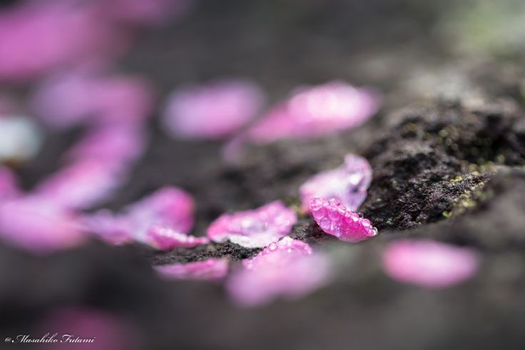 Flower Photo Galleries / 花フォトギャラリー   Photographer Masahiko Futami / 写真家 二見匡彦