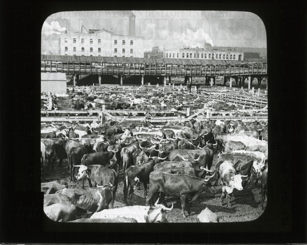 Cattle in the Union Stock Yards, Chicago, Ill. | saskhistoryonline.ca