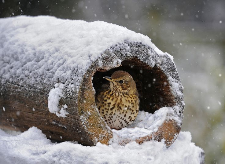 Mistle Thrush Taking Shelter by Ronald Coulter, via 500px