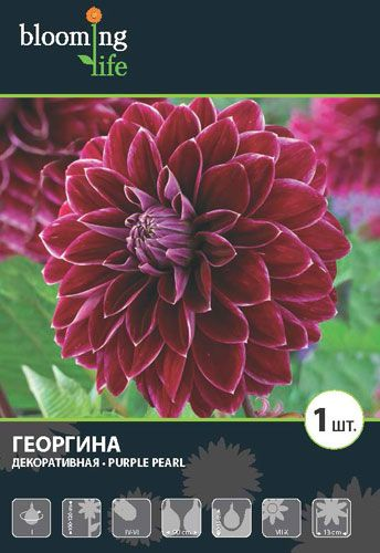 Dahlia-Purple-Pearl.jpg (344×500)