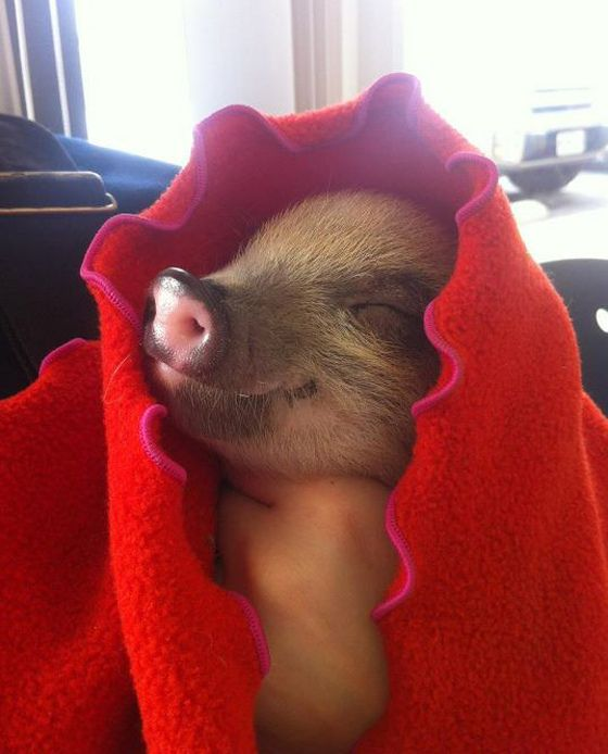 baby pig!Piglets, Little Red, Happy Pigs, Baby Pigs, Pets Pigs, Baby Animal, Piggies, Blankets, Smile