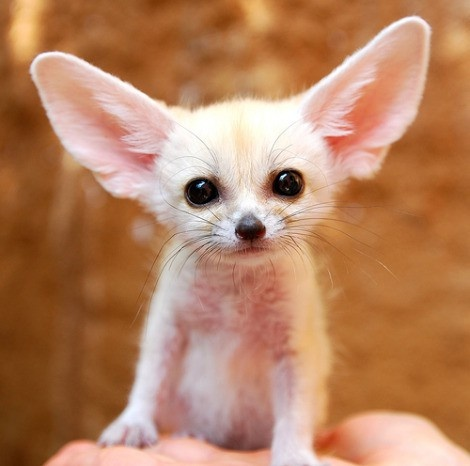 Baby Fennec Fox - WANT! It could hang out with my Chihuahuas! adorableness