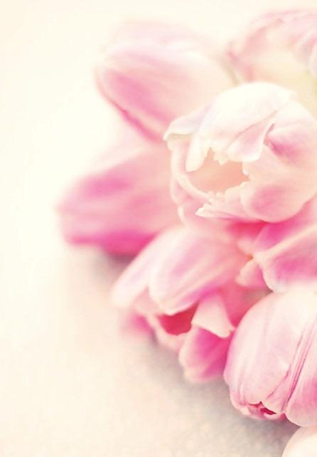 cute tulips pink flowers - photo #46
