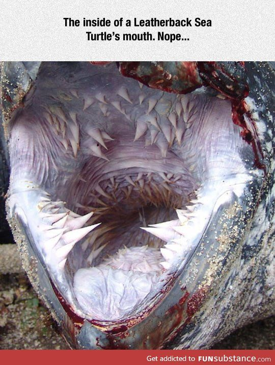 The scary mouth of a leatherback sea turtle