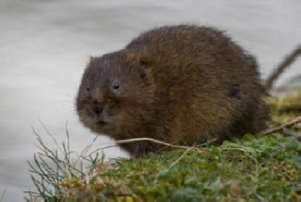 http://www.battleoffulford.org.uk/images/water_vole.jpg