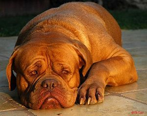 November's Dog of the Month.This devoted family companion is the oldest French Breed. Read more: http://thepetwiki.com/wiki/Dogue_de_Bordeaux