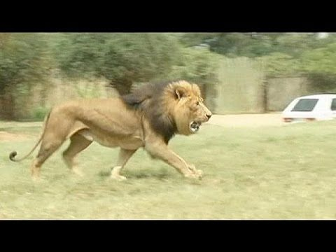 Лев загрыз 22-летнюю американскую туристку в одном из сафари-парков в ЮАР