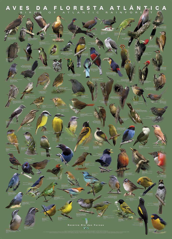 Poster de Aves da Floresta Atlântica ( Birds of Atlantic Rain Forest )       Material que já vem sendo pesquisado desde 2005, teve sua pr...