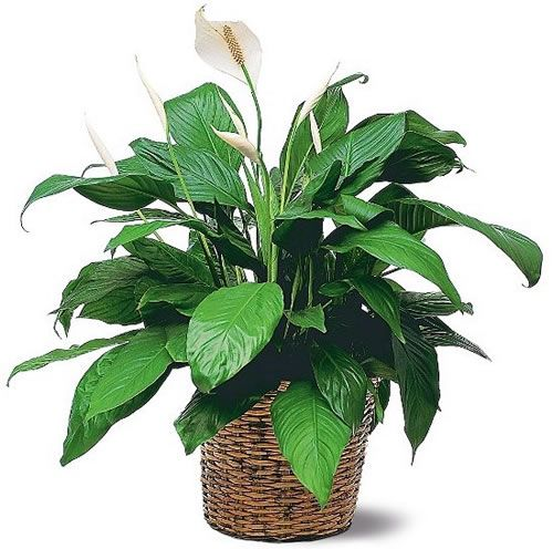 5 beautiful indoor house plants for your home - White Flowering House Plants