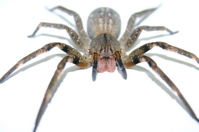 Remédio caseiro para acabar com as aranhas