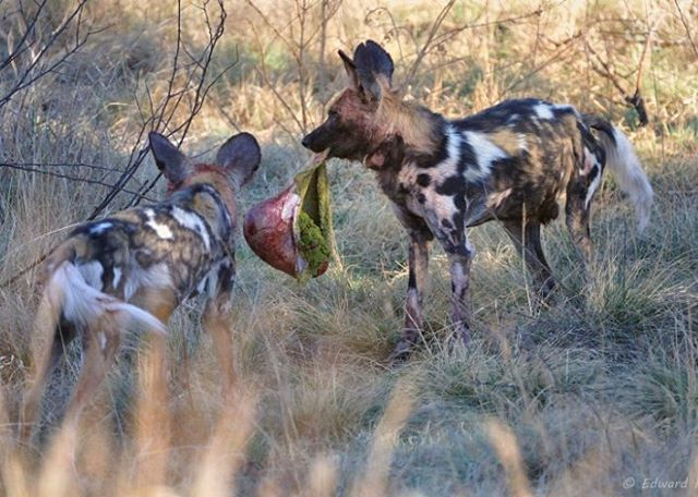 Wild dogs with stomach of their victim - notice the grass still in the stomach. Image  from The  Photographer's  Guide  to  the  Pilanesberg National Park  eBook and captured by @peach.ed, our co-author.  http://www.kruger-2-kalahari.com  #NaturePhotography  #Africa  #Photographic  #Travel #WildlifePhotography  #PhotoSafari  #Kruger2Kalahari #AfriTravel #eBooks #Wildlife  #Pilanesberg  #nikon #iamnikonsa #nikonwildlife #sigmaphoto_sa #wilddogs #predator