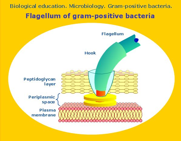 7 best flagellum images on pinterest microbiology smart design the scientific and educational diagrams and vector drawings on biology and biochemistry are drawn using conceptdraw pro diagramming and vector drawing ccuart Images