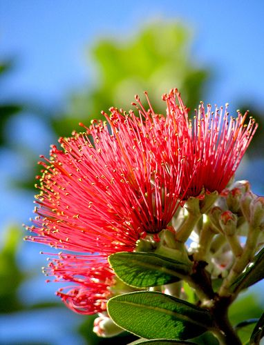 Pohutukawa flower - New Zealand's Christmas Tree.