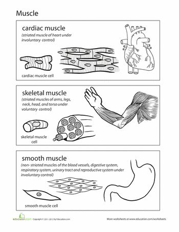 286 best images about a p on pinterest respiratory system muscle and anatomy and physiology. Black Bedroom Furniture Sets. Home Design Ideas