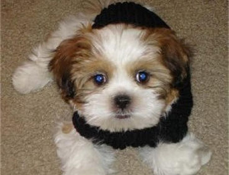 1000 Images About Zuchon On Pinterest Puppys Cute