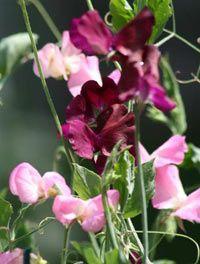 Душистый горошек выращивание и уход