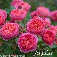 David Austin-Rose 'Boscobel' 1