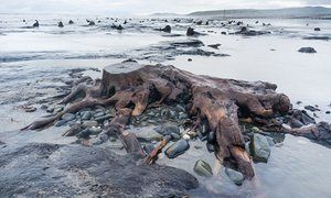 The skeletal trees of Borth forest – last alive 4,500 years ago and linked to lost kingdom of Cantre'r Gwaelod – appear at shoreline